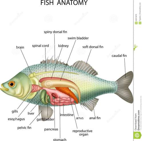 small resolution of anatomy of fish