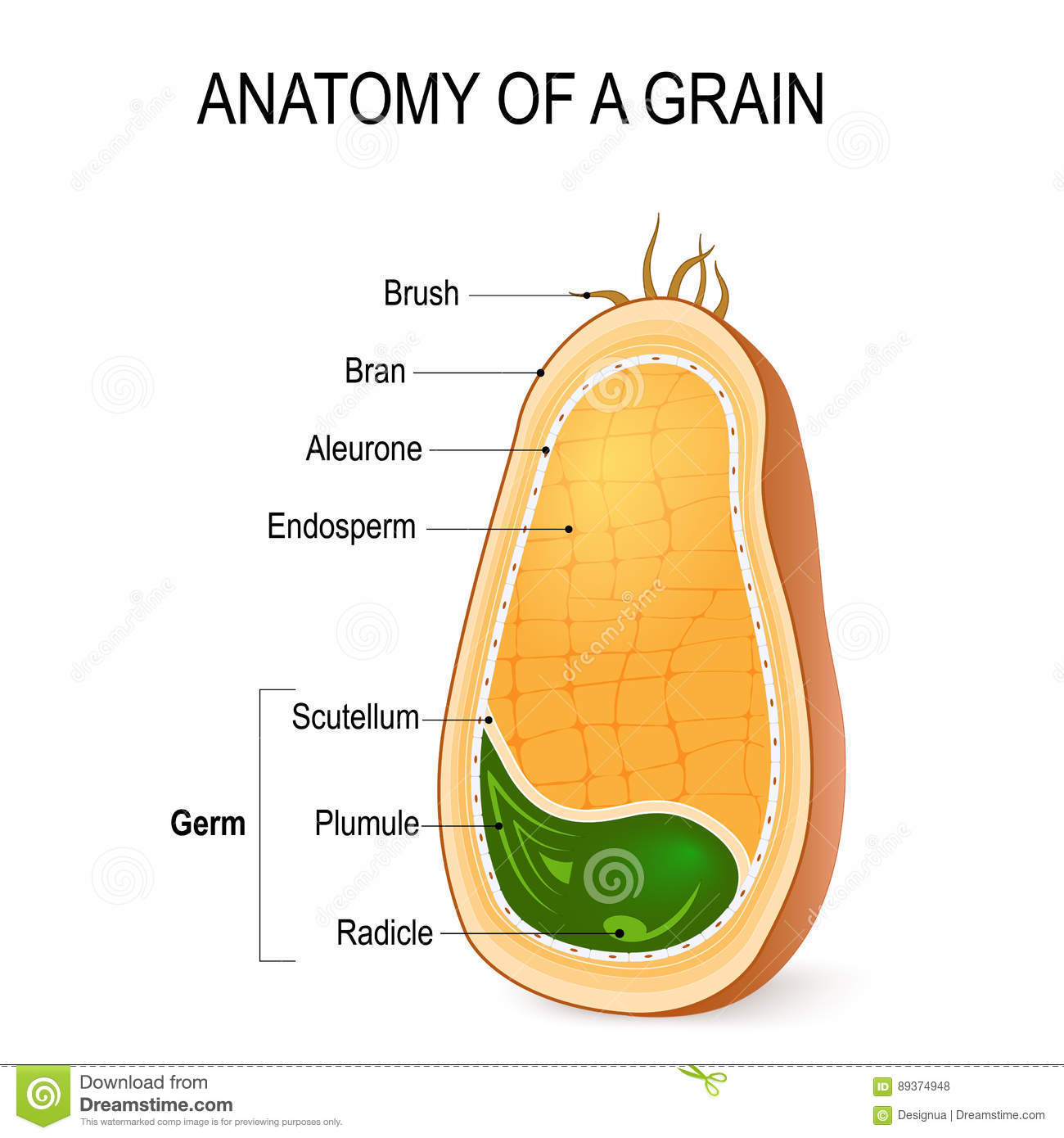 hight resolution of anatomy of a grain inside the seed