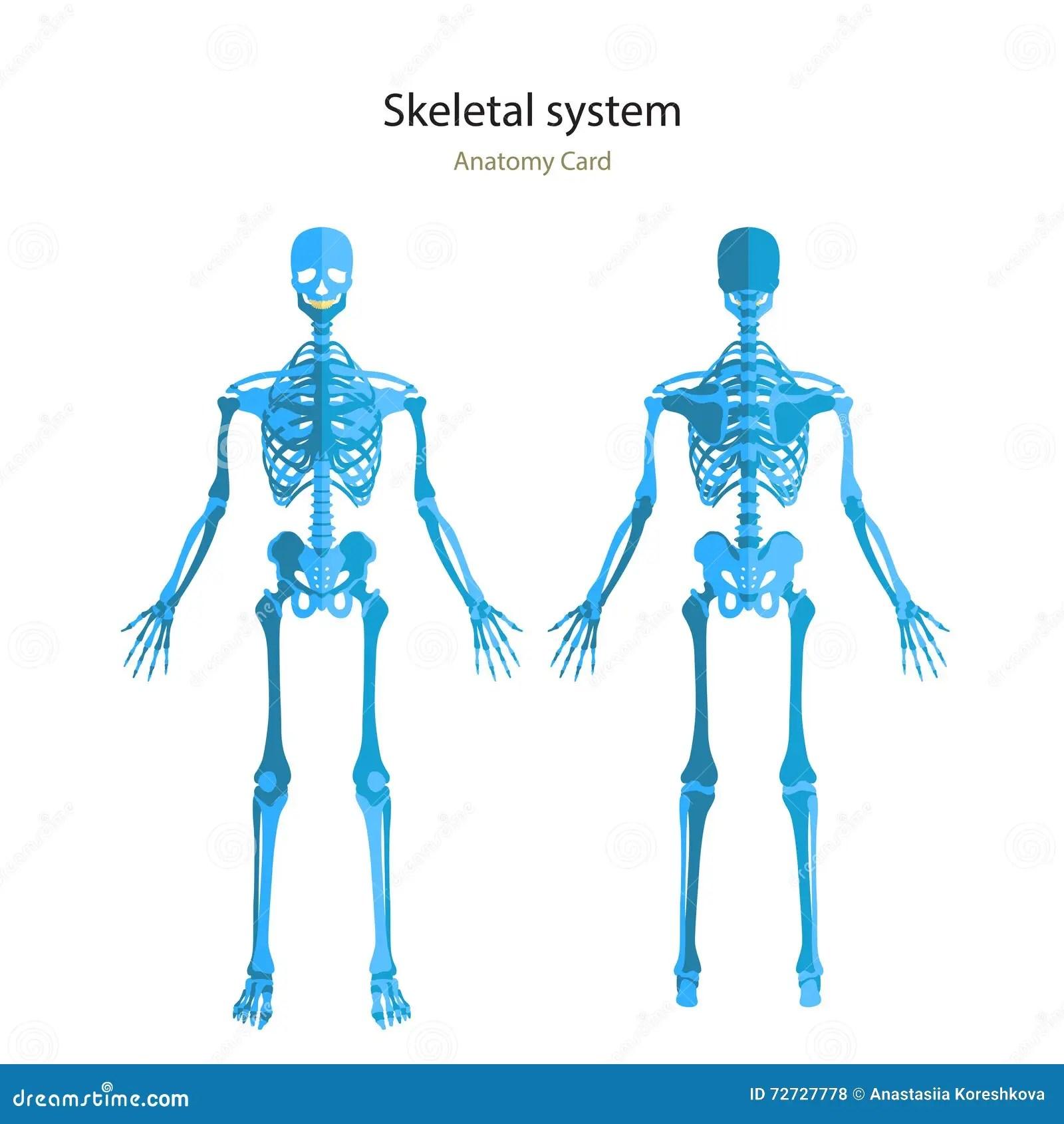 Torso Anatomy Human Skeletal Diagram