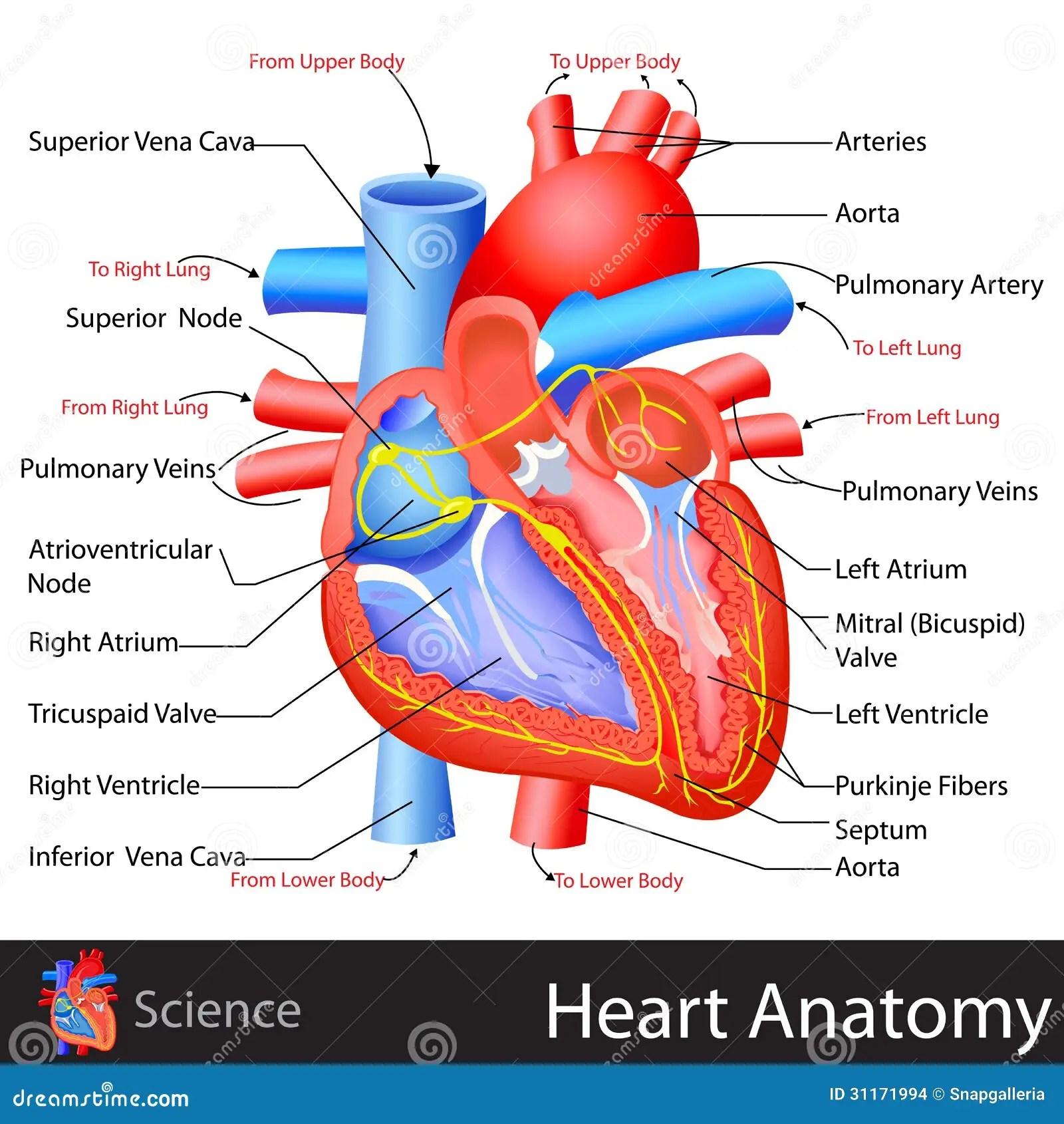 Anatomy Of Heart Stock Vector Illustration Of Anatomy