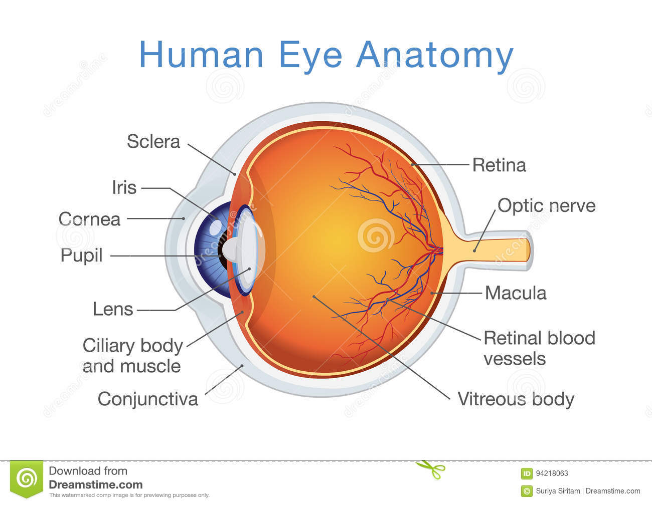Anatomy Of Human Eye And Descriptions Stock Vector