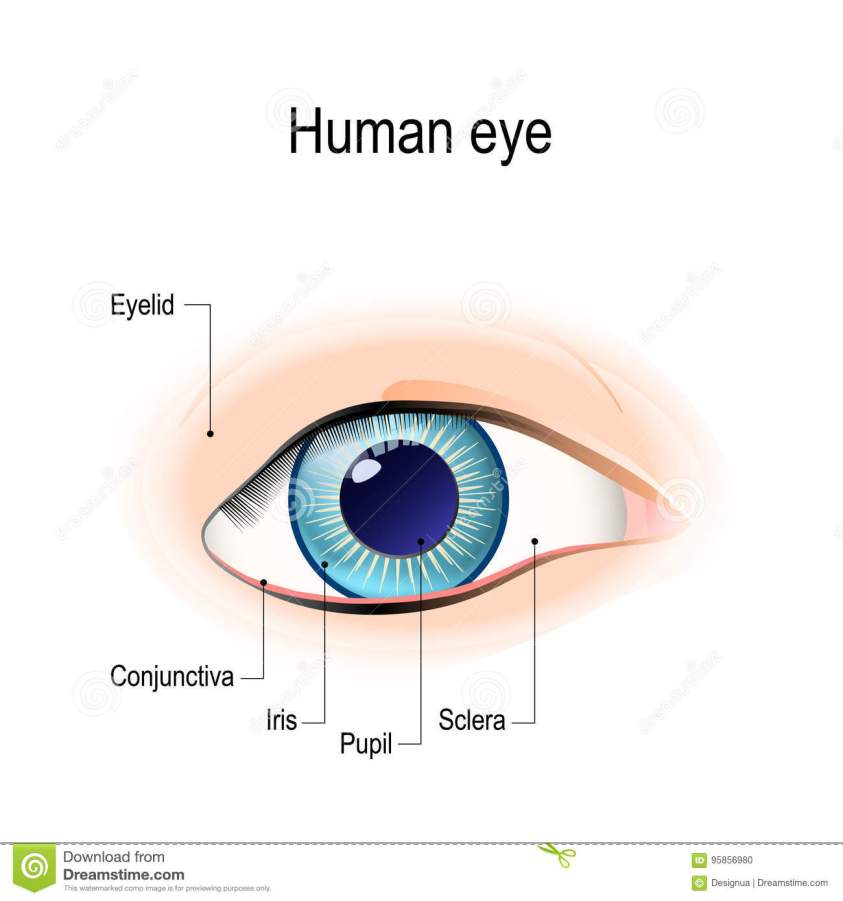 Anatomy Of The Human Eye In Front View Stock Vector ...