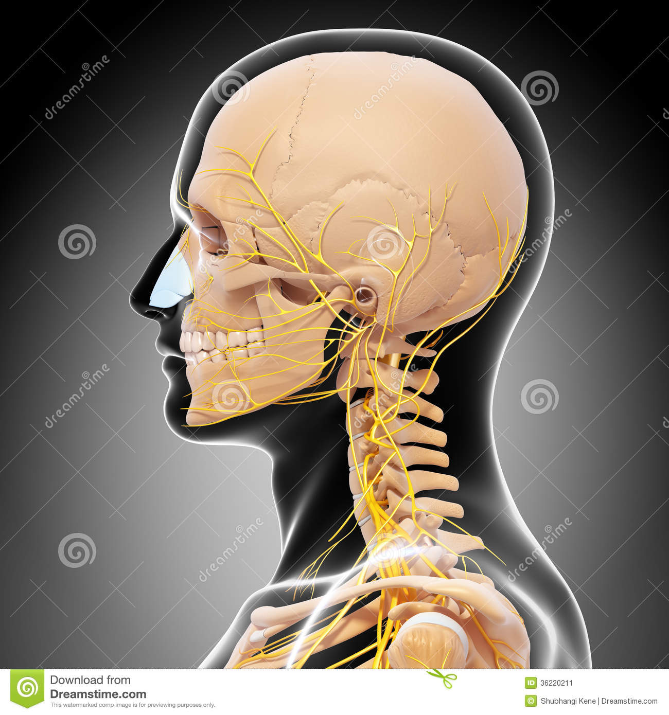 realistic heart diagram pickup wiring seymour duncan anatomy of human head nervous system with throat stock illustration - image: 36220211