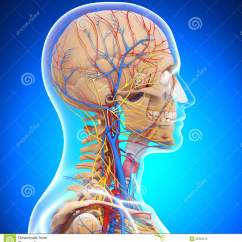 Internal Brain Diagram 2005 Dodge Neon Stereo Wiring Anatomy Of Human Head Skeleton Stock Photo - Image: 26309210