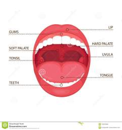 anatomy human open mouth medical diagram [ 1300 x 1390 Pixel ]