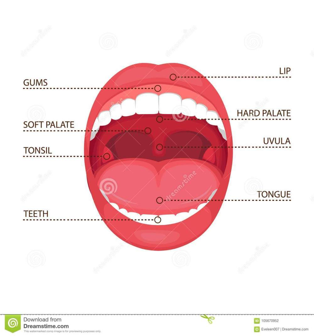 medium resolution of anatomy human open mouth medical diagram