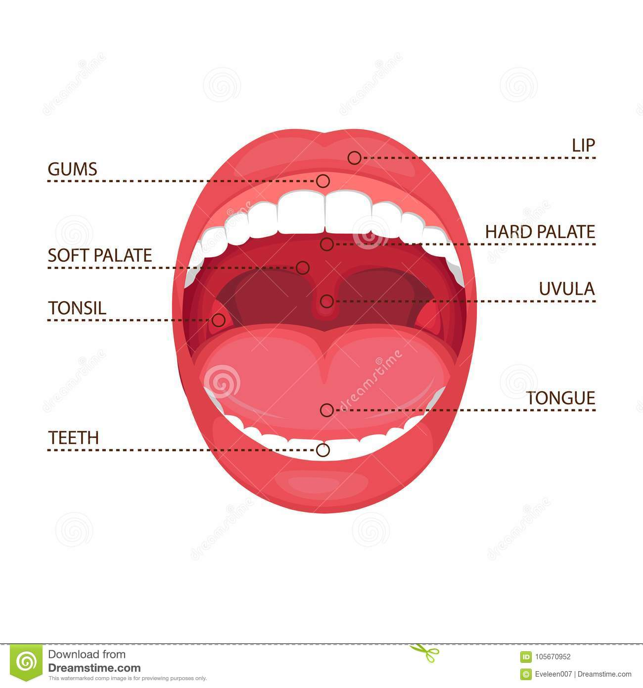hight resolution of anatomy human open mouth medical diagram