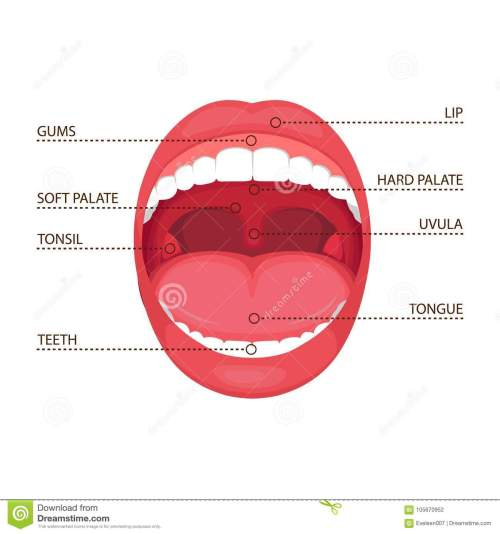 small resolution of anatomy human open mouth medical diagram
