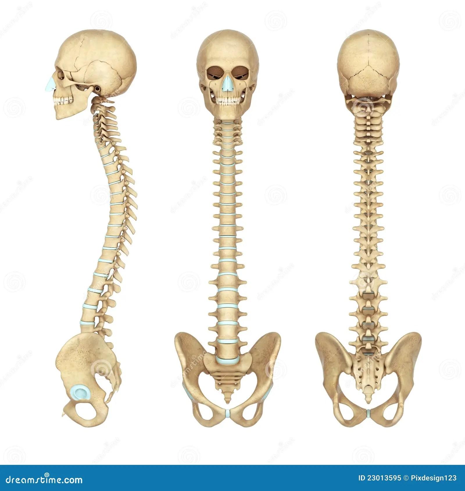 Anatomy Illustration Of A Human Skeleton Spine Stock
