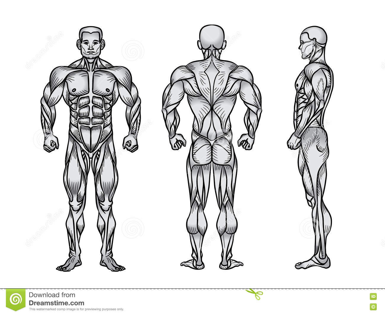 Anatomy Of Male Muscular System, Exercise And Muscle Guide