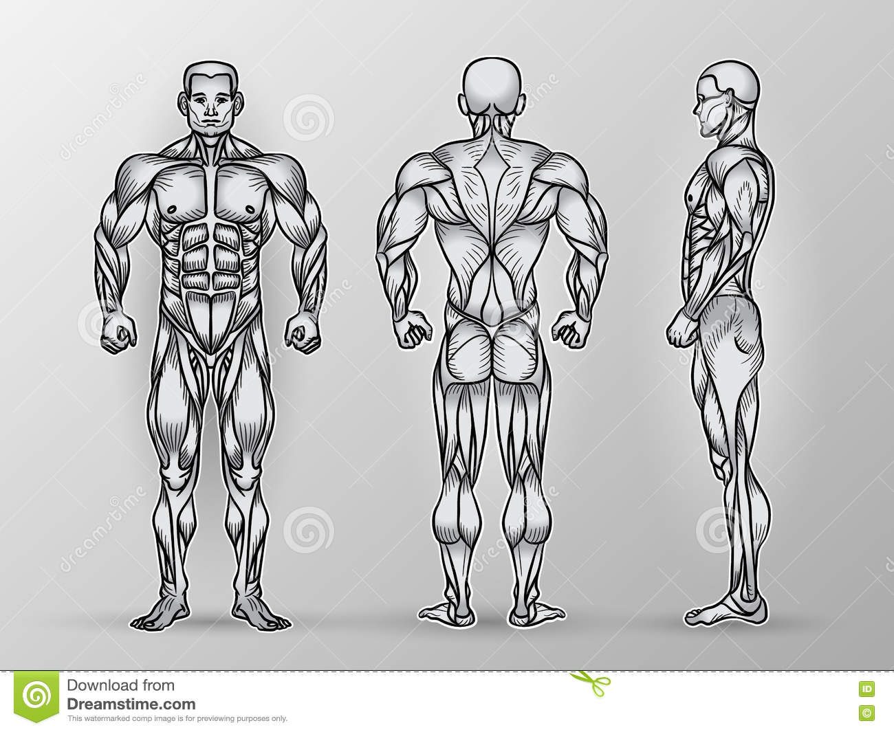 human muscles diagram labeled front and back school bus parts anatomy of male muscular system exercise muscle guide
