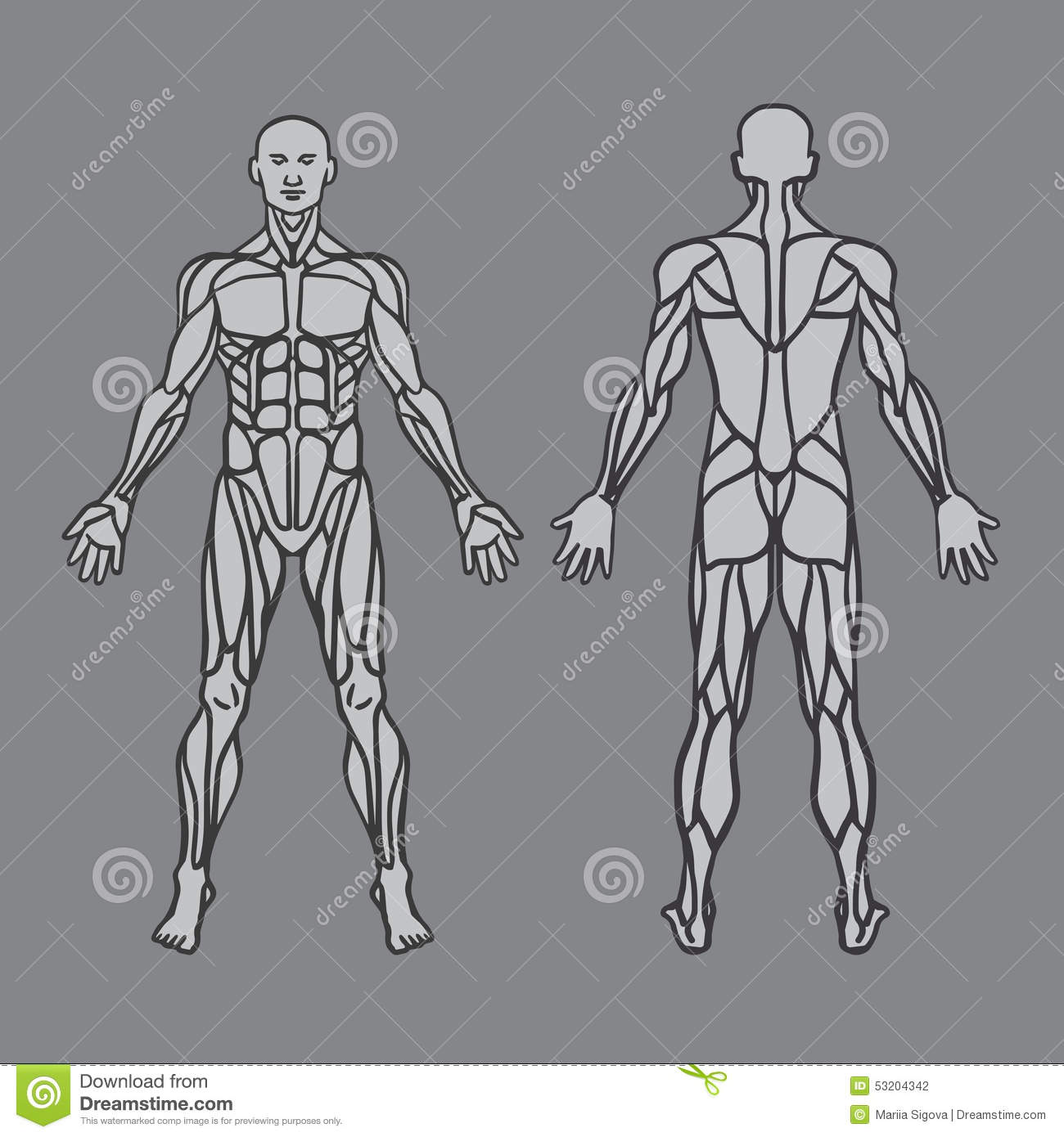 Anatomy Of Male Muscular System Exercise And Stock Vector