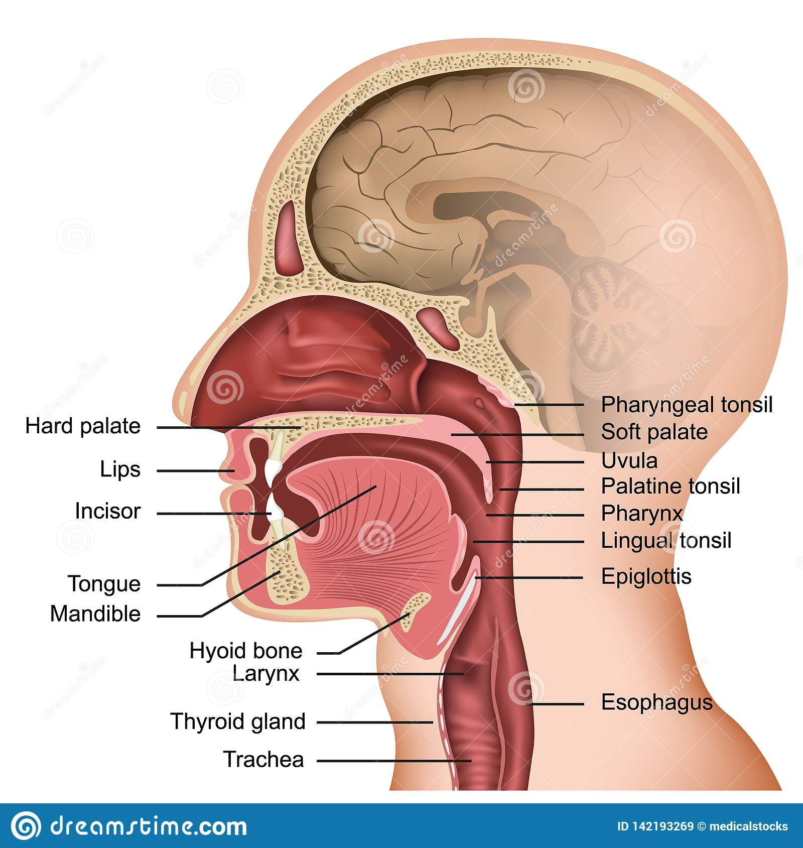 hight resolution of anatomy tongue stock illustrations 2 049 anatomy tongue stock illustrations vectors clipart dreamstime