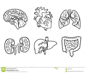 organs anatomy internal vector anatomical illustration organ icons brain dreamstime skeleton fotosearch