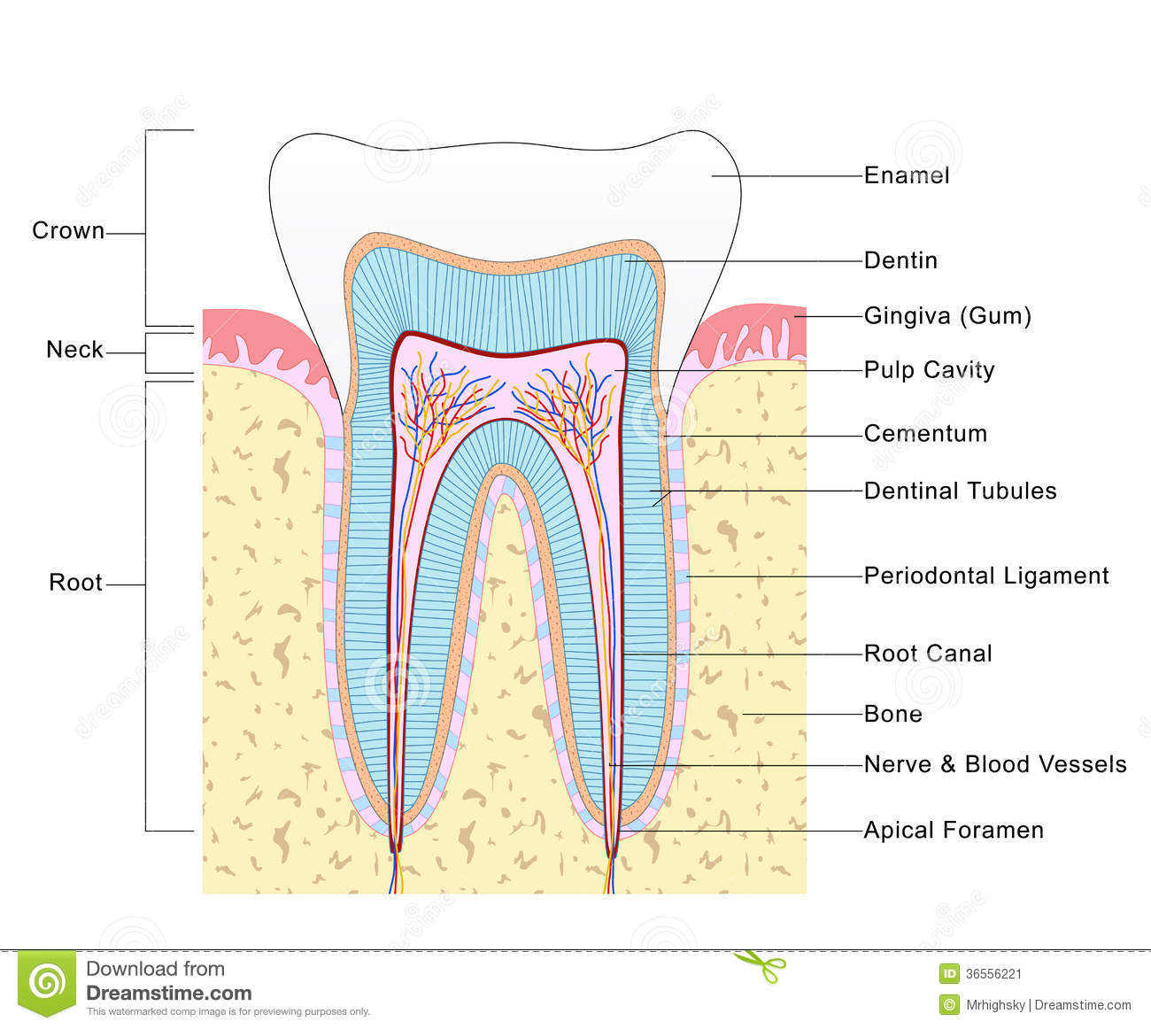 tooth layout diagram vectra c audio wiring anatomy of stock illustration