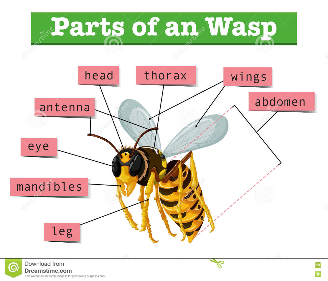 hight resolution of anatomy of wasp with words stock vector illustration of wildlife wasp discovered recently wasp anatomy diagram