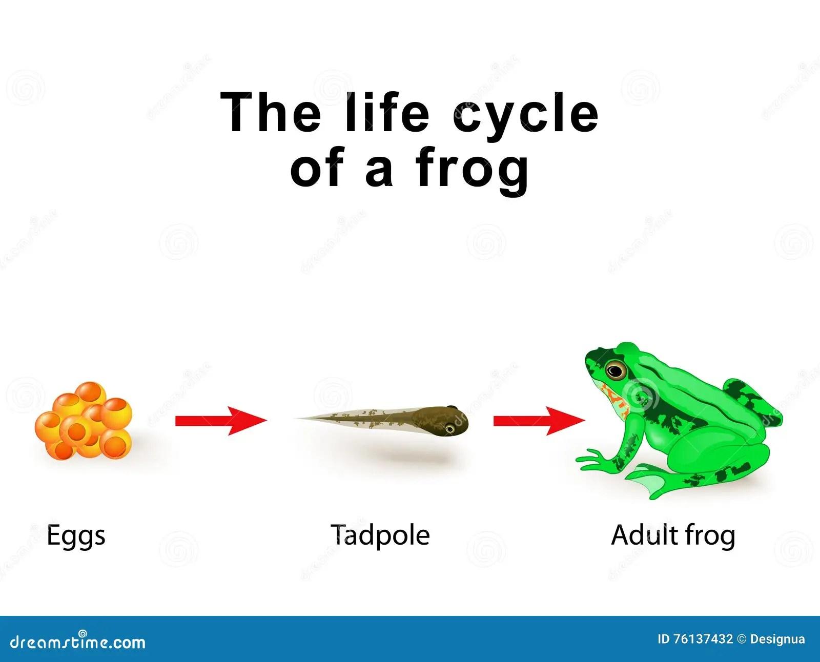 Anfibi Di Metamorfosi Per Esempio Il Ciclo Di Vita Delle