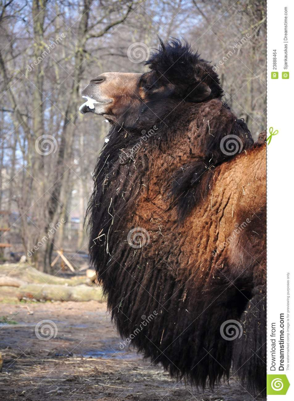 Angry Camel Stock Images Image 23888464