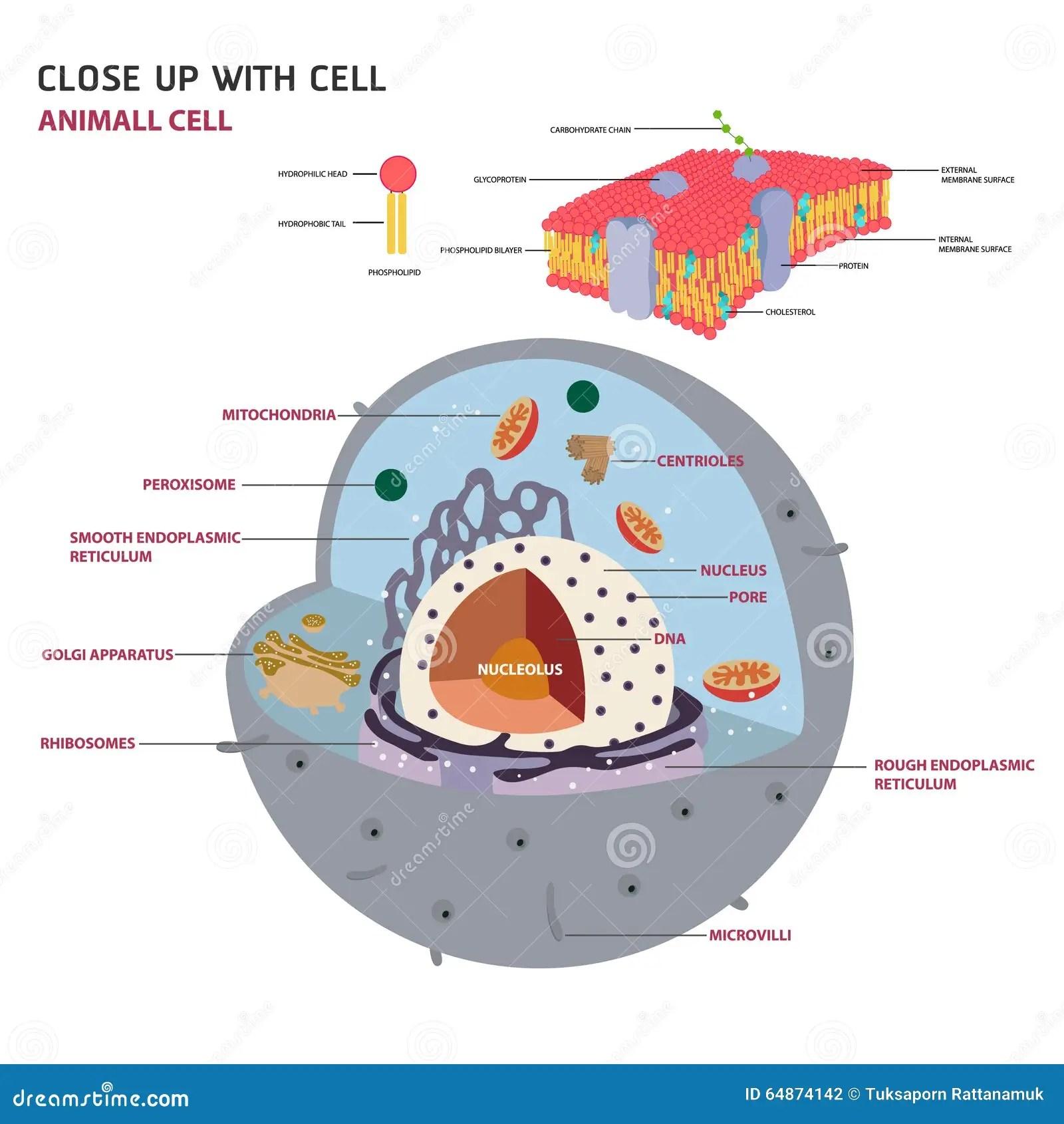 eukaryotic animal cell diagram swann dvr wiring vector stock