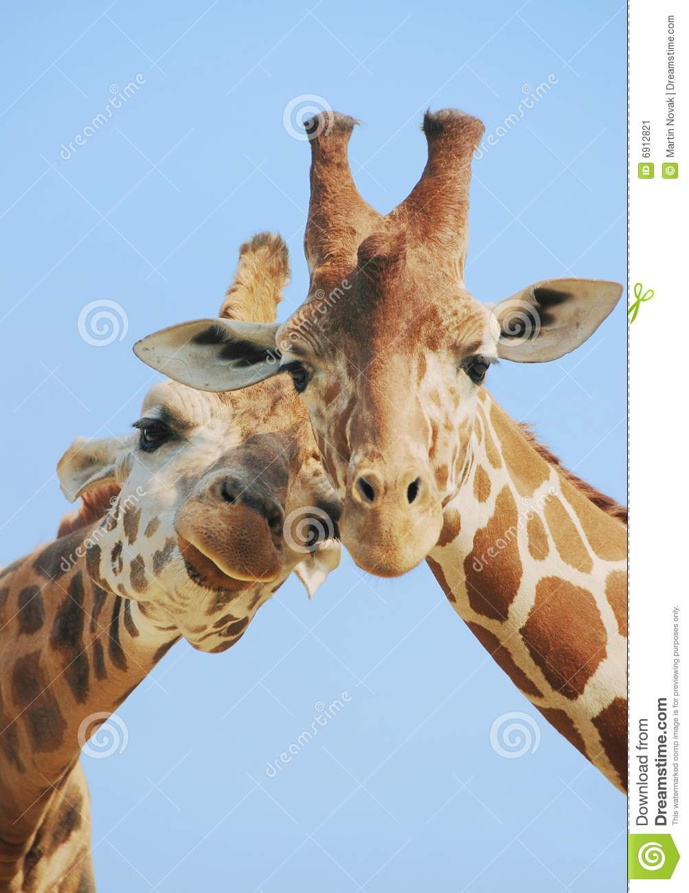Cute Baby Animals Wallpapers Free Download Animal Love Giraffes Stock Image Image Of African Brown