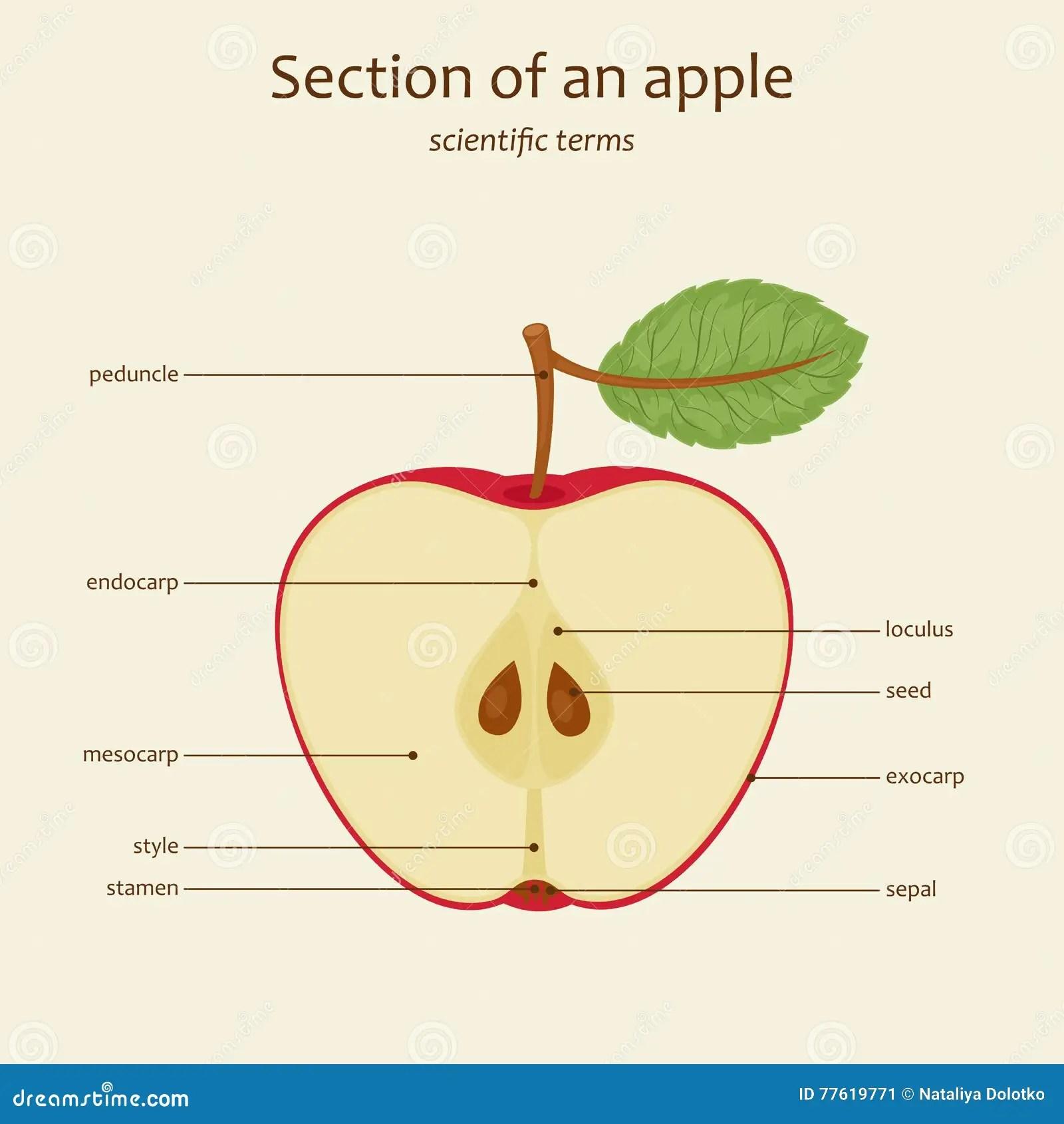 parts of an orange fruit diagram phoenix phase converter wiring apple names vector stock image