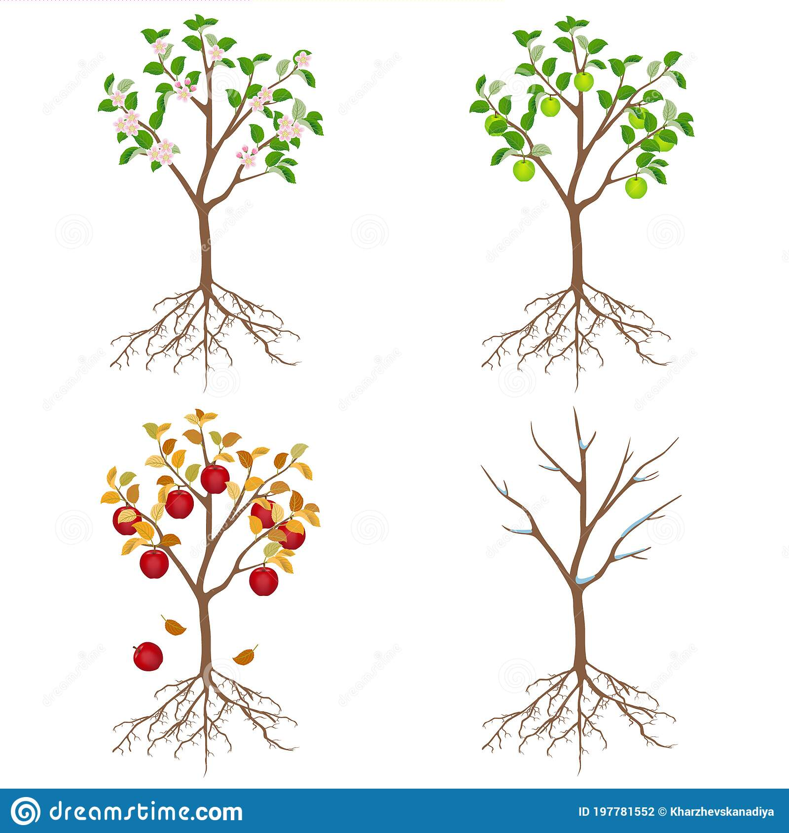 Apple Tree In Different Seasons On A White Background