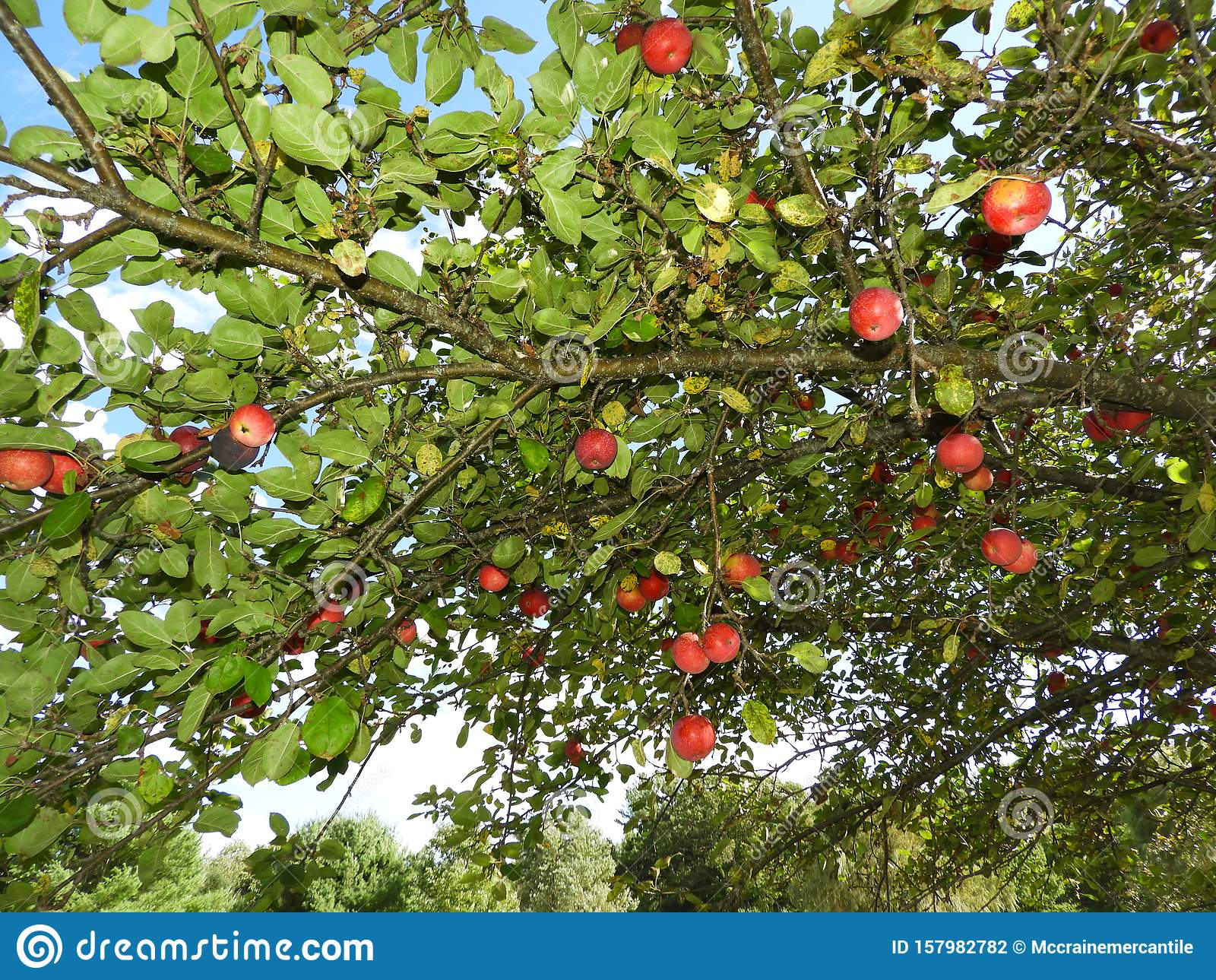 Apple Tree During Harvest Season In Nys Stock Photo