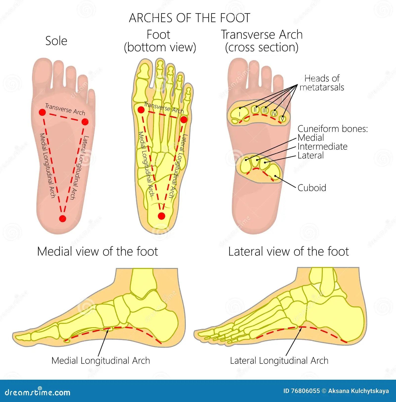 hight resolution of diagram bottom of feet wiring diagram forward diagram of muscles on bottom of foot diagram bottom of foot