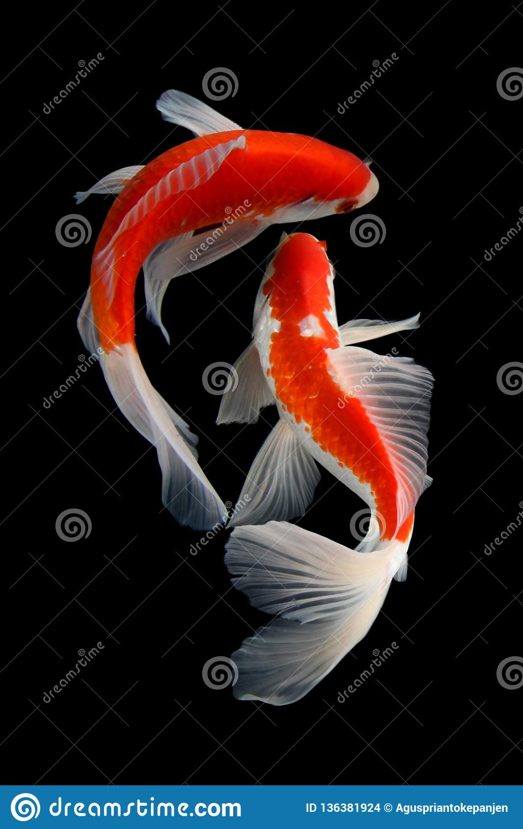Koi Fish Pics : Isolated, Black, Background, Stock, Photo, Image, Isolated,, Happy:, 136381924