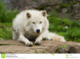 wolf arctic wolves male alpha facts spring interesting know portrait did remarkably royalty preview canis dominant