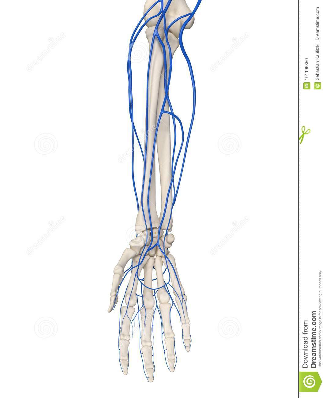 hight resolution of 3d rendered medically accurate illustration of the arm veins