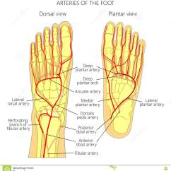 Foot Pulses Diagram 240v Thermostat Wiring Leg Best Library Plantar Cartoons Illustrations Vector Stock Images 72 Pedal Tibial Pulse