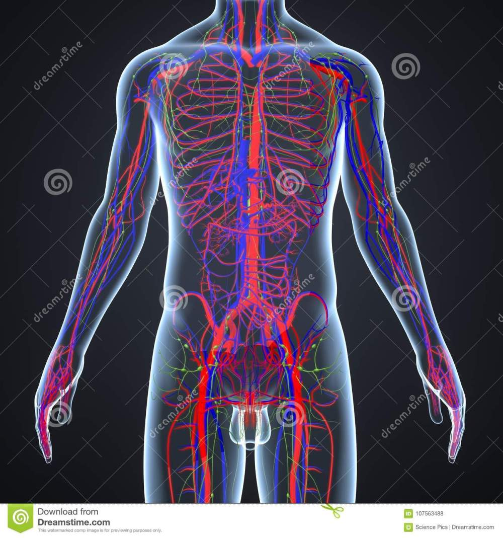 medium resolution of there are two types of blood vessels in the circulatory system of the body arteries that carry oxygenated blood from the heart to various parts of the body