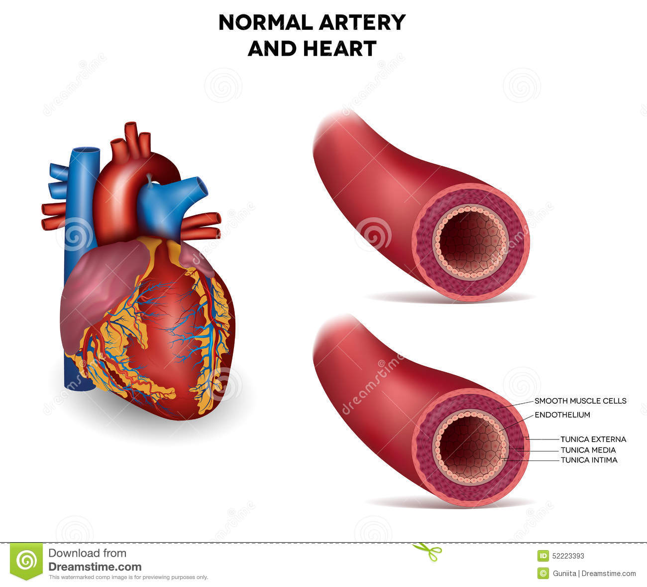 healthy heart diagram strat hsh wiring artery and stock vector illustration of graphic