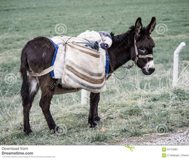 Ass Pictures Of Donkeys Shepherds Asses Beautiful Cargo Carrying A Load Sable Donkey Black Donkey Amiable Ass Beautiful Donkey Pictures