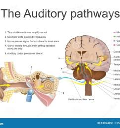 the auditory pathways  [ 1300 x 963 Pixel ]