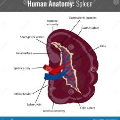 Liver And Spleen Diagram Lighting Circuit Wiring Multiple Lights Uk Human Muscle Tissue Elsavadorla