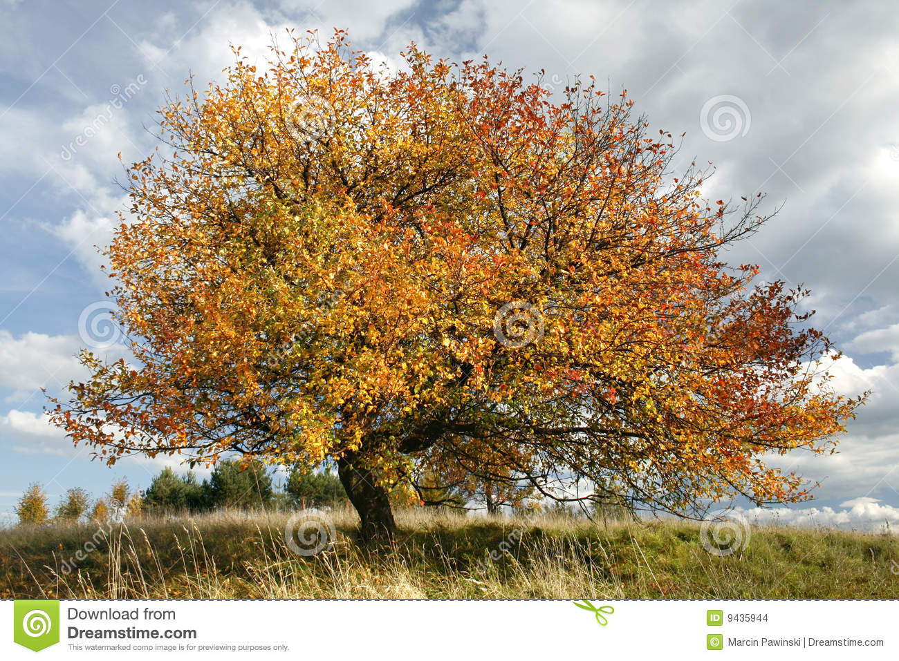 Birch Tree Fall Wallpaper Autumn Apple Tree Stock Photo Image Of Fall Aging
