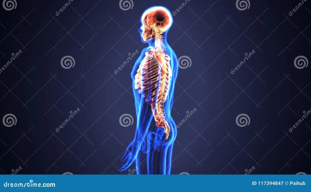 medium resolution of axial skeleton axial skeleton diagram svg diagram of the axial skeleton details identifiers latinskeleton axiale taa02 0 00 009 fma71221 anatomical