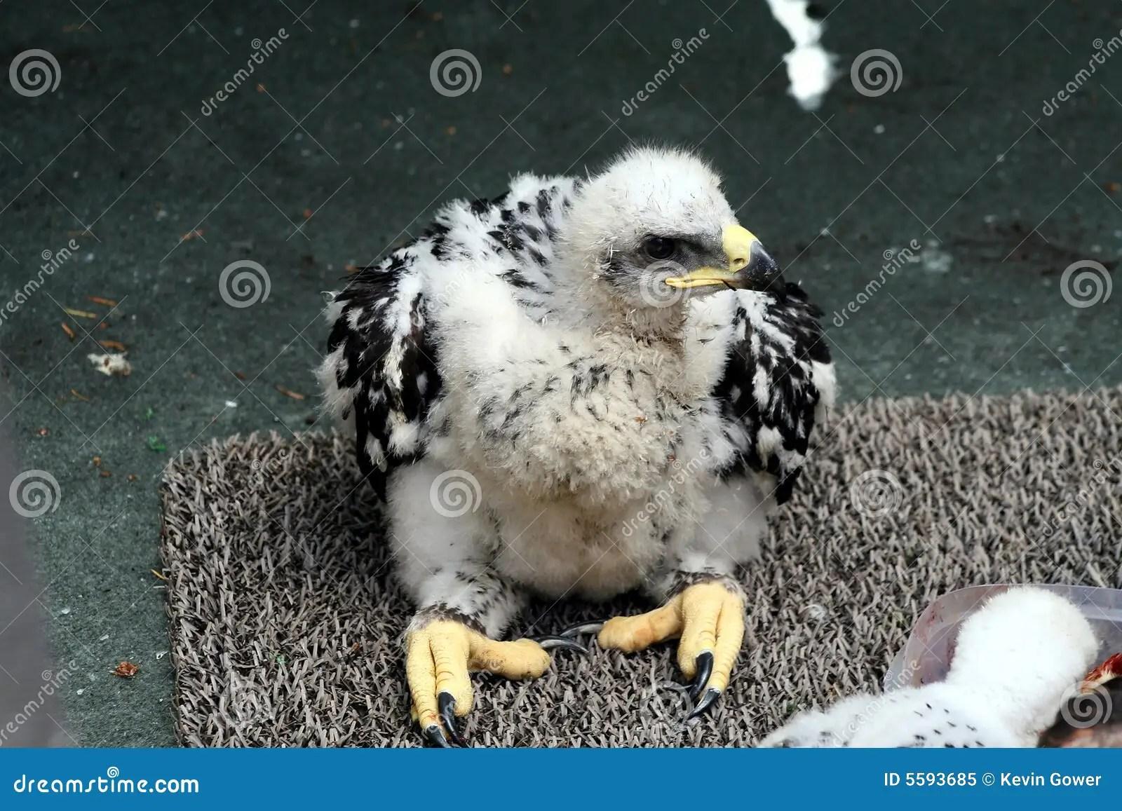 baby golden eagle stock