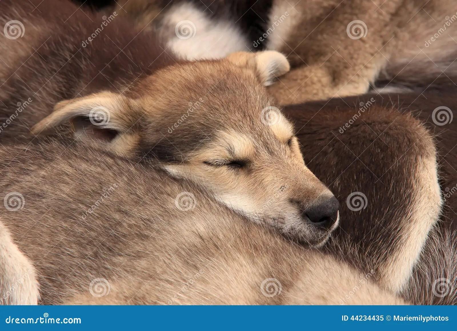 baby huskies sleeping together