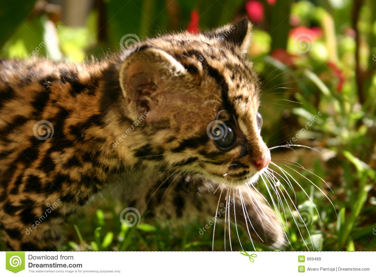 Cute Wallpaper Recycling Baby Margay Royalty Free Stock Images Image 669489