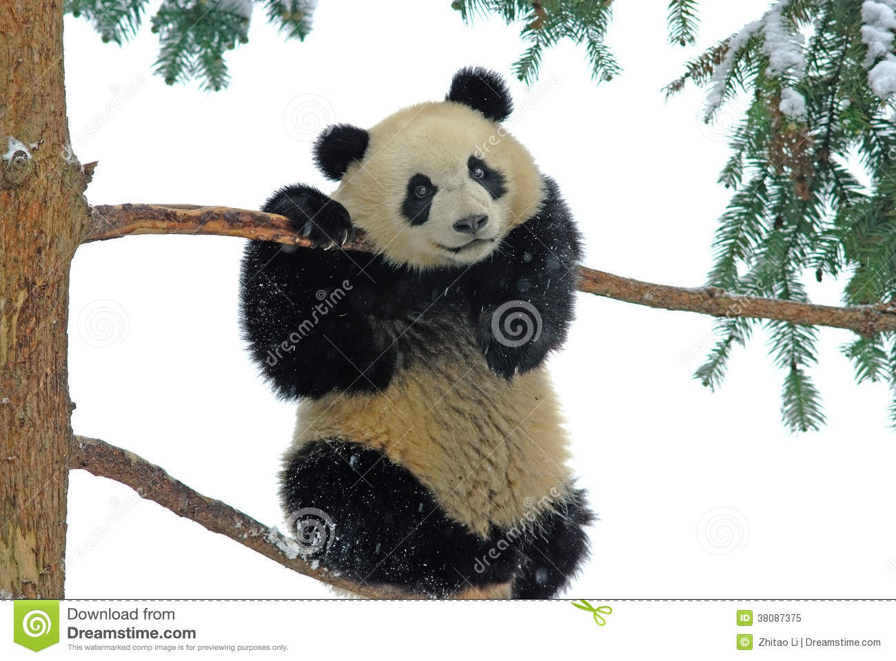 Free Falling Snow Wallpaper Download A Baby Panda Is Playing On The Tree In Bifengxia Stock