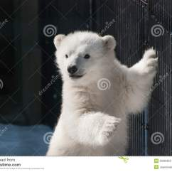 Polar Bear Fur Diagram Poulan Chainsaw Fuel Line Baby Standing