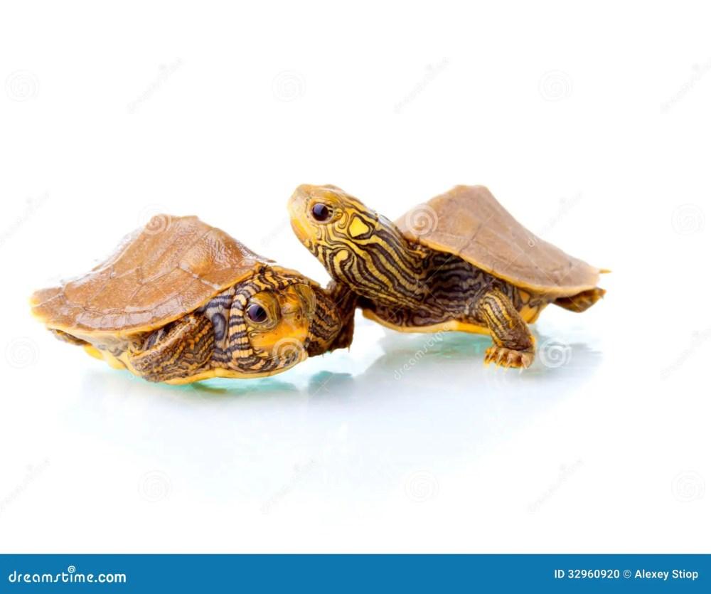 medium resolution of baby turtles