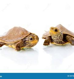 baby turtles [ 1300 x 957 Pixel ]
