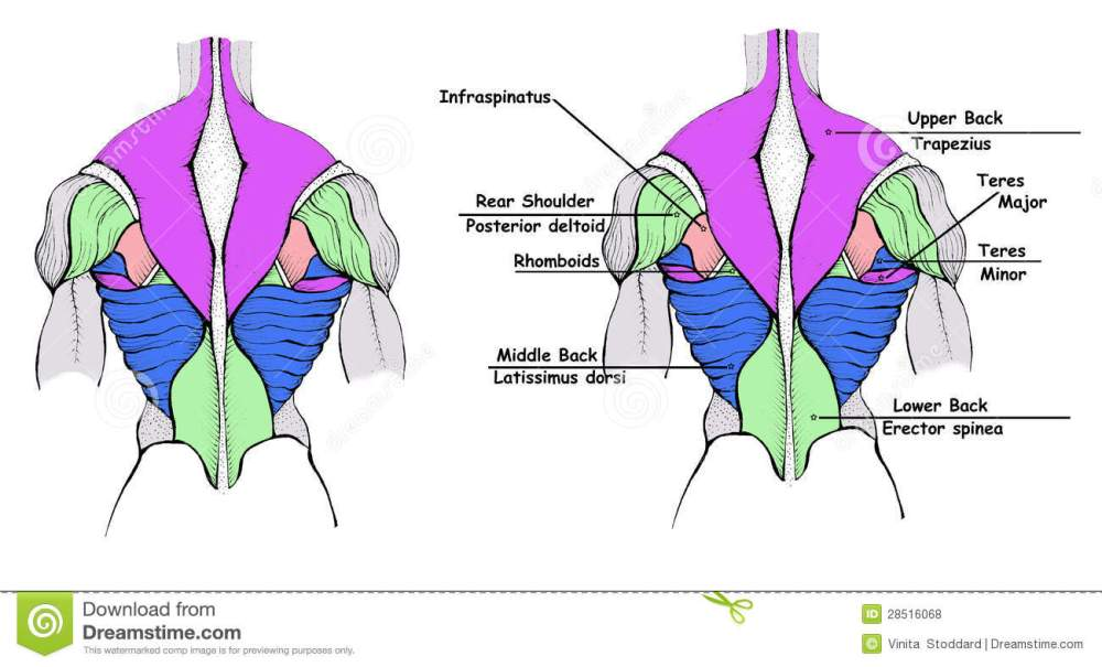 medium resolution of a diagram of back muscles with and without labels