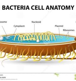 structure of bacterial cell cutaway vector diagram of a typical bacterial cell illustrating structural components [ 1300 x 917 Pixel ]