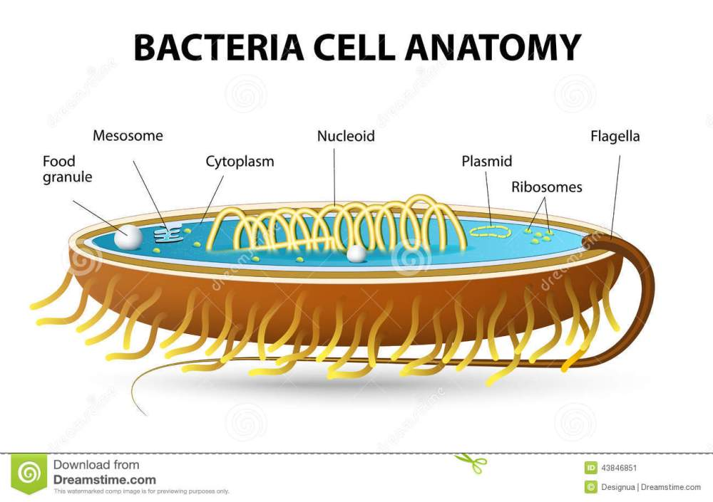 medium resolution of structure of bacterial cell cutaway vector diagram of a typical bacterial cell illustrating structural components