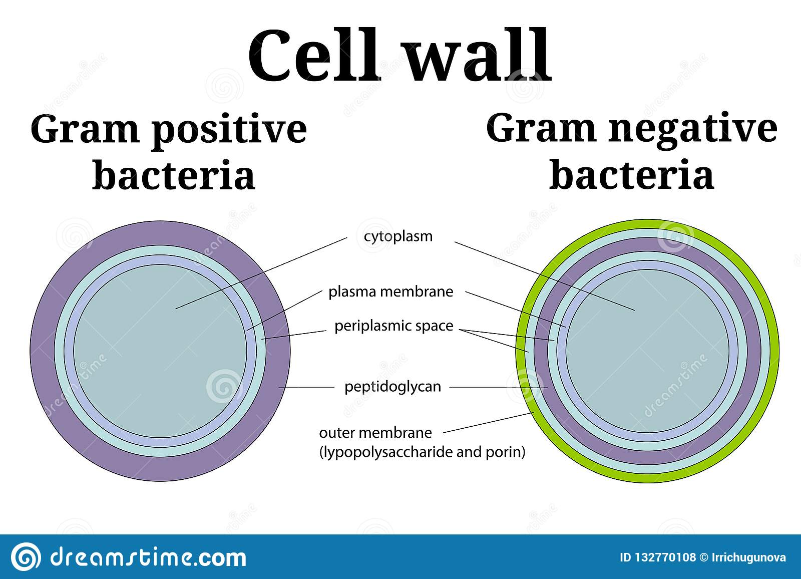 Bacteria Cell Wall Illustration Gram Positive And Gram